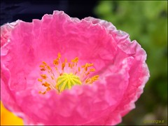 Pink Poppy ( Graa Vargas ) Tags: pink flower macro poppy papoula graavargas 26804190809 2005graavargasallrightsreserved