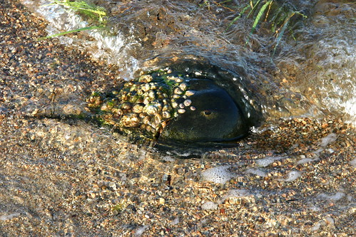 Horseshoe Crab Habitat. horseshoe crab interesting