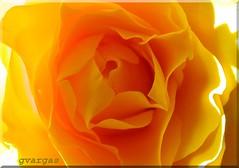 :)* Kiss me ( Graa Vargas ) Tags: light flower rose yellow topv111 interestingness80 i500 graavargas 97615100909 2005graavargasallrightsreserved