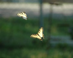 Dance Of The Butterflies (foto fanatic1) Tags: dancing butterflies motion fly butterfly blur flying yellow nikon nikond70 d70 tag1 tag2 tag3 taggedout