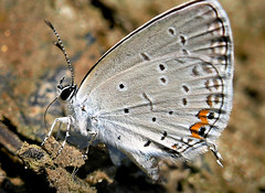Happy Hour (Peloria) Tags: butterfly insect bug thirsty lake macro nature easterntailedblue