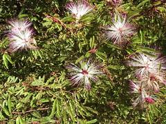 (marlenells) Tags: flowers pink white green pinkngreen wildflower wild topv111 topc25 15fav