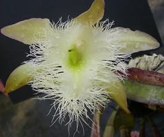 Rhyncolaelia digbyana (Brujo) Tags: rhyncolaelia dibyana orchid white fuzzy