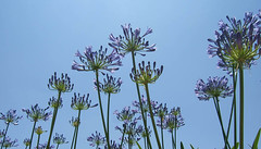Marching (cindiann) Tags: agapanthus flowers