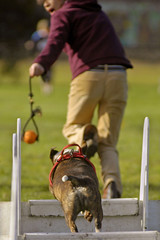 Flyball training by Hangdog