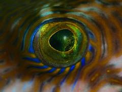 IMG_8308 (aquanerds) Tags: izu ita japan underwater scuba diving macro eye fish pufferfish itsonginvite itsongmacrocosmos oceans–wildlife itsong–canoneos300d itsong–macro–oceans