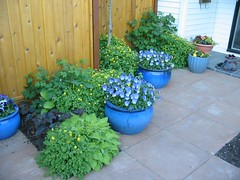 Blue Pots outside the Gate of the Private Patio (MaureenShaughnessy) Tags: blue plant green catchycolors garden colorful gardening greenisbeautiful vibrant blues pottedplants containers greenandblue gardendesign flowersinpots greenmontanaset bluemontanaset flowersincontainers everythingisalive plantshavespirit