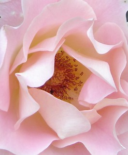 Strauchrose rose Detail