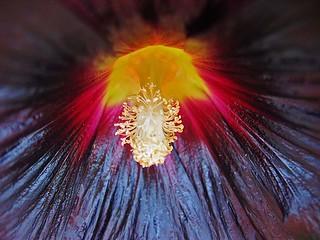 schwarze Stockrose (black hollyhock) closeup