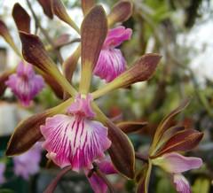 Encyclia phoenicia (Brujo) Tags: