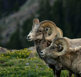 Bighorns in Profile