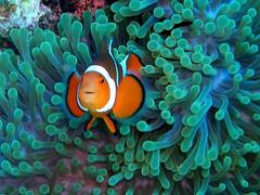 #015 clownfish (カクレクマノミ) (Nemo's great uncle) Tags: geotagged clownfish okinawa 沖縄 kerama カクレクマノミ 慶良間 mostcommented fav5 kakurekumanomi interestingness65 i500 explore27jun05 geo:lat=26190256 geo:lon=127324333 flagcounter