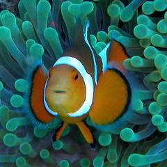 Nemo's great uncle (Nemo's great uncle) Tags: geotagged clownfish okinawa 沖縄 kerama カクレクマノミ 慶良間 fav5 kakurekumanomi geolat26190256 geolon127324333