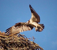 033 Mrs. Grimsley, the Osprey, Comes in for a Landing (Pixel Packing Mama) Tags: nature birds tag3 taggedout oregon wonder top20action inflight cool wings tag2 niceshot tag1 top20wings great flight letsplaytagyoureit 100views excellent flickrcentral osprey aesthetic eaglesbirdsofprey oregonwildlife mrsgrimsleytheosprey cooloutdoorpictures femalephotographers top20thingswithwings pixelpackingmama mayberryrfdruralpeoplerurallives dorothydelinaporter taggedoutandproudofitset views100 thecenturianclub mavicafanclub views75 50to99views birdfanatics thegameofphotoassociation onlyospreys wonderfulunlimited taggedoutthegraduatesofletsplaytage mostinterestingaccordingtoflickralgorithmset uploadedtoflickr2005set pixelpackingmama~prayforkyronhorman oversixmillionaggregateviews over430000photostreamviews