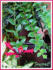Aeschynanthus radicans 'Crispa' (Lipstick Plant, Basket Vine) at our car porch