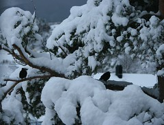 "Snow and Svarttrost ""turdus merula"""