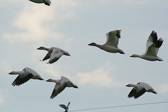 IMG_7878.jpg (wildorcaimages) Tags: snowgeese birds