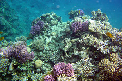 Coral Reef (Sam and Ian) Tags: coral reef fish redsea sharm snorkeling sea egypt sharmelsheikh underwater snorkel naamabay snorkelling water
