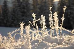 snowcicles