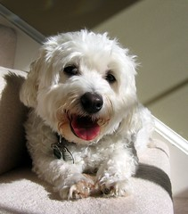 Cameron - the wise Bichon (garyhymes) Tags: shadow dog pet sun white cute wet smile animal stairs pose fur carpet nose happy eyes friend shine teeth tail steps tags cams cameron bichon paws toungue collar pal fangs bestfriend moist interestingness424 i500