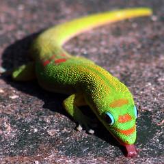 Gecko Licker (Bill Adams) Tags: tongue hawaii lick explore gecko waikoloa myyard greenthing geckoq