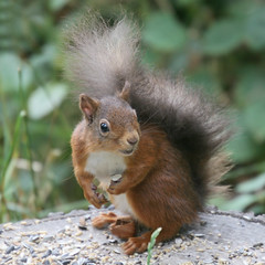 Red Squirrel (Hart from Golborne) Tags: red grey squirrel