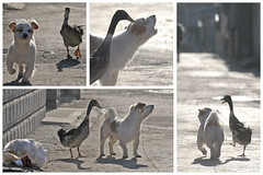 Beijing Duck - Beijing Dog (idogu) Tags: china street friends dog playing animals topv111 1025fav fun grey duck backyard beijing 100v10f 50100fav hutong beijingduck fsftsblog xxxxx beijingdog 1show websetfavorite selectshow