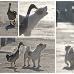 Beijing Duck - Beijing Dog