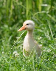 Entengru :-) (Anja van Zijl) Tags: duck ente entenkken vogel animal tier eend wasservogel natur natuur nature