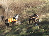 The Dogs Playing With A Stick (amyboemig) Tags: ham hike hiking hikeamonth november fall merck farm forest center rupert dogs hailey trillium trill trilli retrieve stick