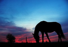 a quiet evening (Dan65) Tags: blue sunset red sky horse 6 silhouette austria evening bravo quiet peace tranquility calm explore grazing thoroughbred equine quietness marchfeld karakum specnature exploretop10 zuckermantelhof ecellenthorses