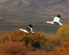Snow Geese Fall Flight Bokeh (Fort Photo) Tags: newmexico bird fall nature birds animal geese bravo d70 bokeh wildlife pair birding 2006 aves goose ave birdsinflight nm waterfowl ornithology bosquedelapache avian bif snowgeese nwr anatidae snowgoose anseriformes chencaerulescens wildbird magicdonkey featheryfriday birdphoto anserinae outstandingshots specanimal animalkingdomelite abigfave subjectisolation flickrgold bestnaturetnc06 impressedbeauty isawyoufirst
