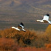 Snow Geese Fall Flight Bokeh - by Fort Photo