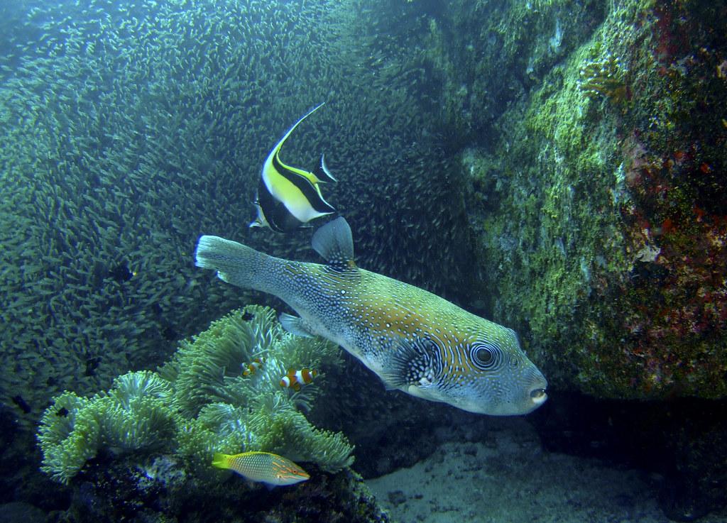 The World 39 S Best Photos Of Arothronstellatus And
