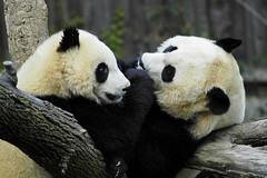Mei and Tai (ucumari photography) Tags: bear november animal mammal zoo oso washingtondc smithsonian nikon panda d70s 2006 national nationalzoo giantpanda specanimal ucumari abigfave zoonational ucumariphotography