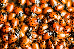 Ladybug Ladybug (Thomas Hawk) Tags: ladybeetles ladybug ladybugs beetle beetles coccinellidae ladybirds ladybird oakland topf25 superfave 10 fav10 fav25 california city insect eastbay save save2 save3 save4 save5 delete delete2 delete3 delete4 save6 delete5 save7 delete6 save8 delete7 save9 delete8 delete9 delete10 unitedstates unitedstatesofamerica usa 18photographs fav20 fav30 fav40 fav50 fav60 fav70 fav80 fav90 fav100 fav200