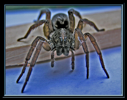 spider framed