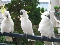 Cockatoos on the Balcony