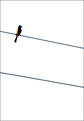 "Cohen's ""Bird on the Wire"" (!!sahrizvi!!) Tags: pakistan bird nature beautiful silhouette photography outdoor silhouettes wires trophy backlit cohen karachi leonardcohen ruleofthirds birdonawire rizvi sahrizvi sarizvi outstandingshots abigfave"