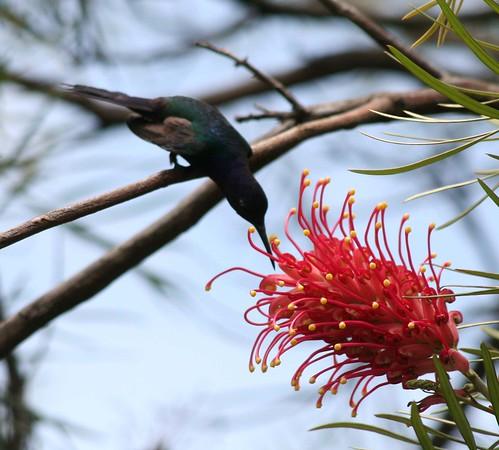 Beija-flor Tesoura (Eupetomena macroura) - Swallow-tailed Hummingbird 36 422 - 9 by Flávio Cruvinel Brandão