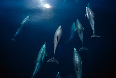 Company in Blue (fotolen) Tags: love nature marine dolphin dolphins common mammals