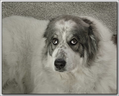 i have only pure love for you (Svjetlost) Tags: dog greatpyrenees biba purelove svjetlost pyreneeanmountaindog mirnabronic httpflickrcomexploreinteresting2007111page30 therealselfislove