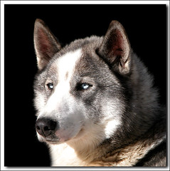 Siberien Husky (Renald Bourque) Tags: bravo husky searchthebest quality iloveit magicdonkey outstandingshots specanimal lefion siberien