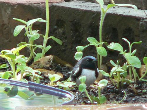 601 Black-throated Blue Warbler 03