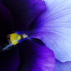 Purple pleasure (cattycamehome) Tags: flowers blue winter flower colour macro sexy water rain tag3 petals bravo tag2 all tag1 purple searchthebest bright quote © pansy petal lilac rights mauve pollen pansies waterdroplets reserved pleasure excellence heartease catherineingram alicewalker abigfave january2007 cattycamehome flickrplatinum allrightsreserved©