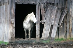 White Horse, Nations Road (rochpaul5) Tags: portrait horse white barn cheval grey oak gate kodak farm gray scene rochester cedar kodachrome tilt weiss avon blanc ramshackle geneseo fowlerville