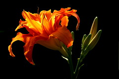 backlit flower - by Muffet