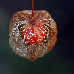 Physalis and drops (!.Keesssss.!) Tags: wet netherlands closeup square outdoors photography stem pod day nopeople drop protection husk foodanddrink raindrop textured freshness gettyimages healthyeating royaltyfree singleobject fragility wintercherry theflickrcollection keessmans 0022ksgetty