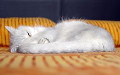 Lua sleeping (_Xti_) Tags: pet cats pets cat silver mouth golden persian fantastic eyes furry feline chat kitty gatos exotic gato gata lua felines gothamist gatto ling katzen gatti cutecat mau exoticcats kaz kätzchen ket gatas exoticcat gatosexoticos gatoexotico méo sorthair exoticsorthair kissablekat