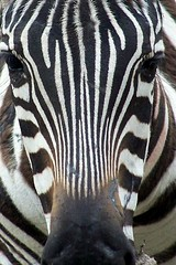 Zebra (Schooled_in _rock) Tags: macro rock jennifer zebra zooanimals blueribbonwinner animalkingdomelite wowiekazowie jenniferrock schooledinrock